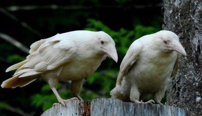 Картинки по запросу Белые Вороны