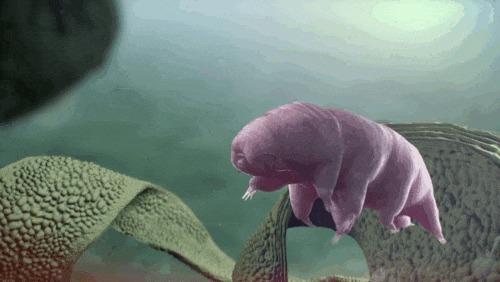 Маленький водяной медведь(Тихоходка/Tardigrada) чешет спину как большой медведь. Тихоходка, Микромир, Выживание, Гифка