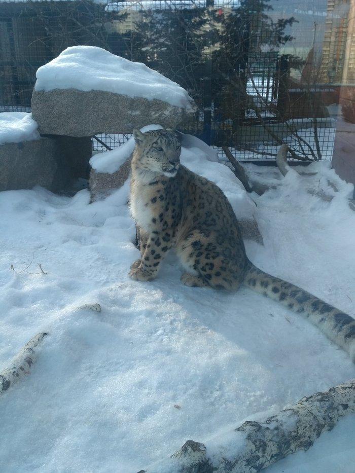 Сбылась мечта взрослого ребёнка Снежный барс, Челябинск, Челябинский зоопарк, Длиннопост