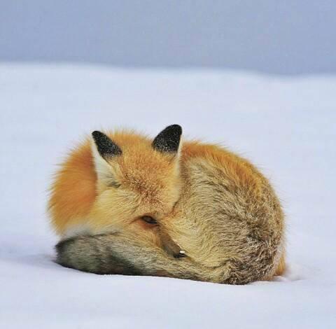 Застенчивая лиса
