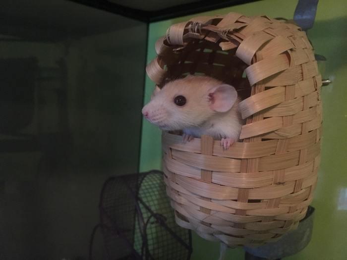 Карликовая крыса по имени спагетти.