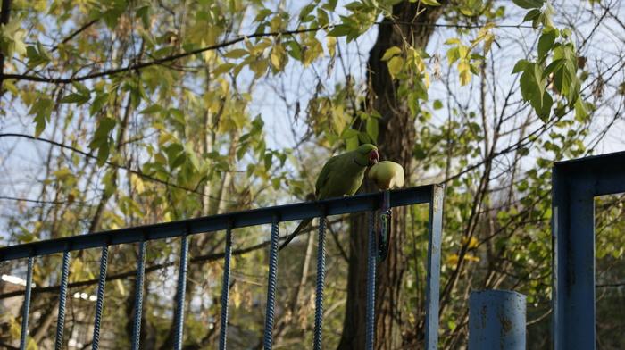 Зеленый беглец (много букв) Попугай, Ожереловый попугай, История из детства, Сбежал, Птицы, Фотография, Длиннопост