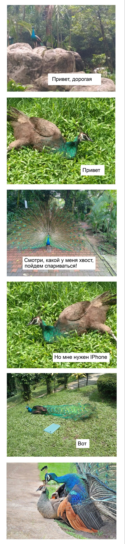 Когда у животных всё как у людей Павлин, Птицы, Iphone, Длиннопост