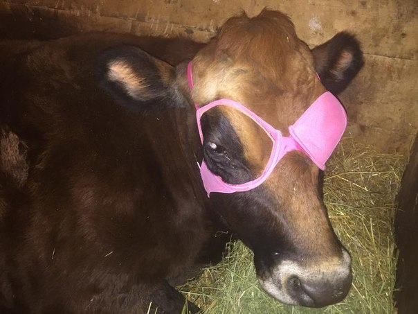 Девушки помогли парню трахнуть корову
