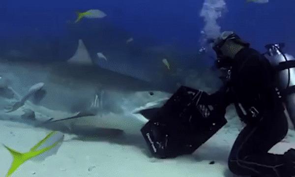 Дай я тебя поцелую. Акула, Смелость, Милота, Гифка, Аквалангист, Подводная съемка, Тигровая акула, Рыба