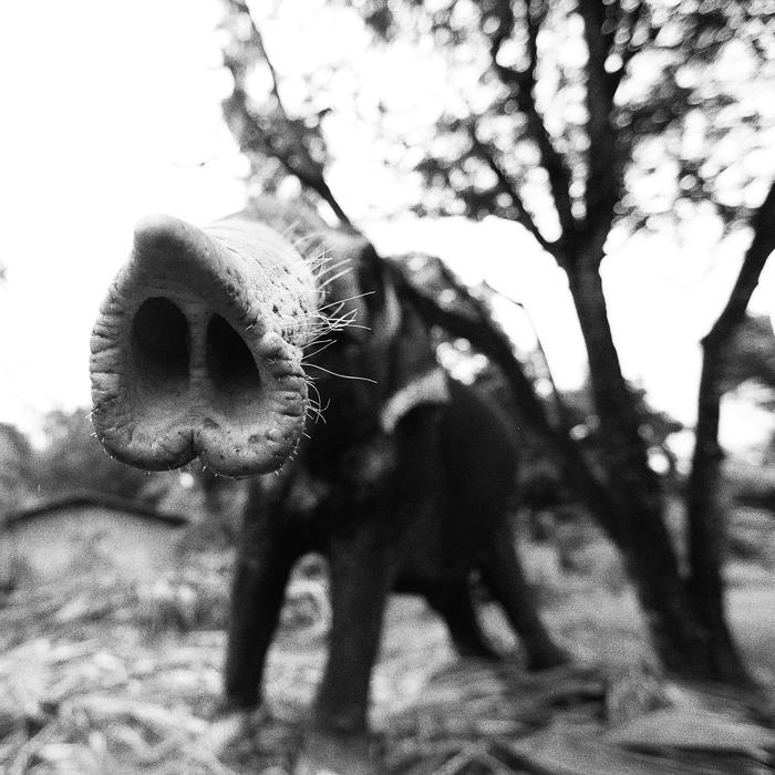 Рыльце в пушку Шри-Ланка, Черно-Белое, Слоны, Животные