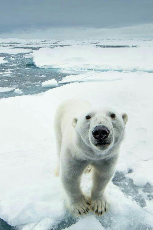 День белого медведя Белый медведь, Милота, Длиннопост, Зоопарк, Февраль