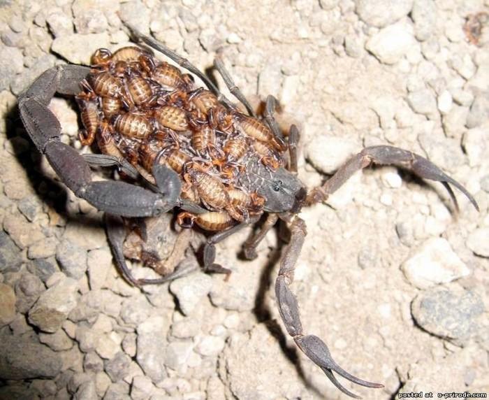 Скорпионы, кто они!?! Длиннохвост (ой, длиннопост)