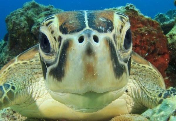 Морская черепаха не в том месте не в то время Инвалид, Черепаха, Море, Туризм, Травма, Будьте внимательнее