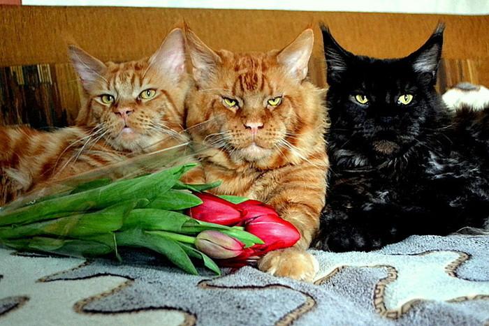 К весне готовы! Кот, Мейн-Кун, Питомец, Длиннопост