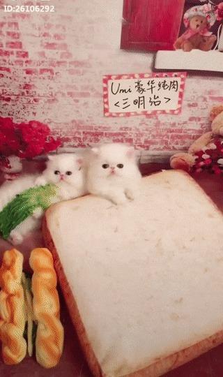 Китайская кухня Кот, Котята, Бутерброд, Тарелка, Ложка, Еда, Юмор, Несколько гифок, Гифка