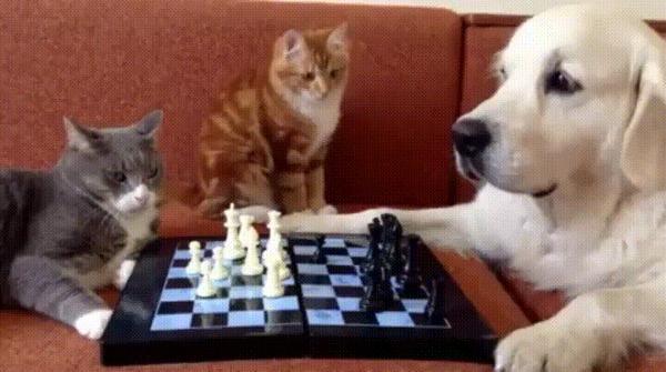 Я тебе говорил лощадью ходи! Кот, Собака, Шахматы, Гифка, Животные