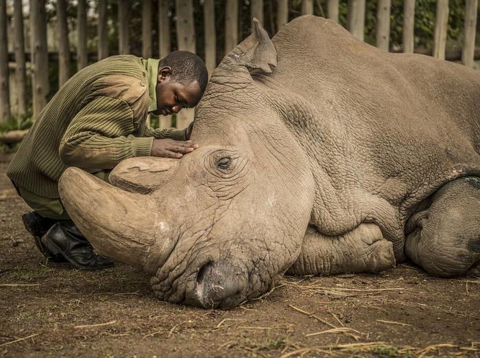 Рейнджер успокаивает последнего, находящегося при смерти, самца  северного белого носорога. Белый носорог, Носорог, Кения, Животные, Грусть, Смерть, Фотография