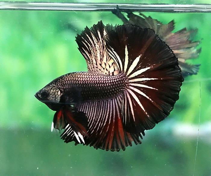 Невероятные петушки Рыба, Петушки, Betta, Аквариум, Длиннопост, Фотография
