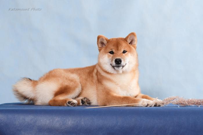 Маленькая рыжая морда. Собака, Щенки, Сиба-Ину, Фотография