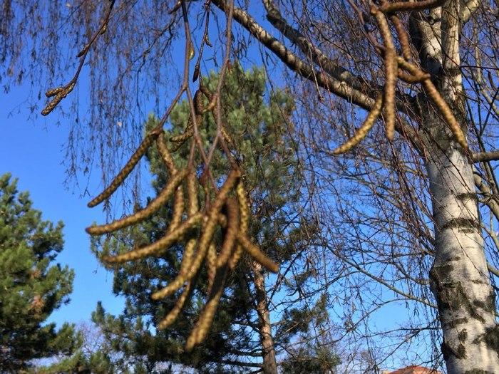 Начало цветения ольхи в России может совпасть с заносами жесткой пыльцы березы из Европы Австрия, Вена, Пыльца, Аллергия, Поллиноз, Пыление, Россия, Здоровье, Длиннопост