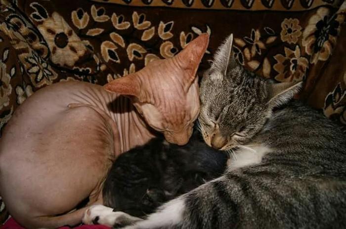 Что будет если скрестить сфинкса с обычной кошкой? Сфинкс, Потомство, Длиннопост, Кот