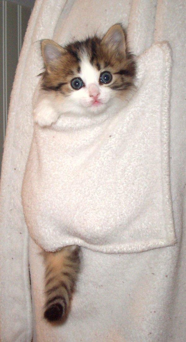Карманный котенок