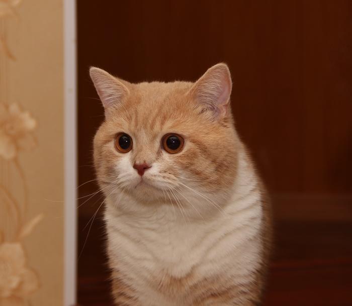 Знакомьтесь, Брюс! Кот, Шотландский прямоухий кот, Шотландская прямоухая, Пушистый, Усатый-Полосатый, Наглая морда, Хитрецы, Котомафия