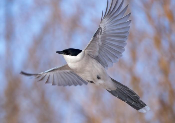 Птицы в полете Птицы, Летящие птицы, Канюк, Голубая сорока, Болотная сова, Длиннопост, Фотография