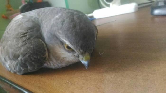 Помогите опознать что за птица Птицы, Помощь, Орнитология, Без рейтинга