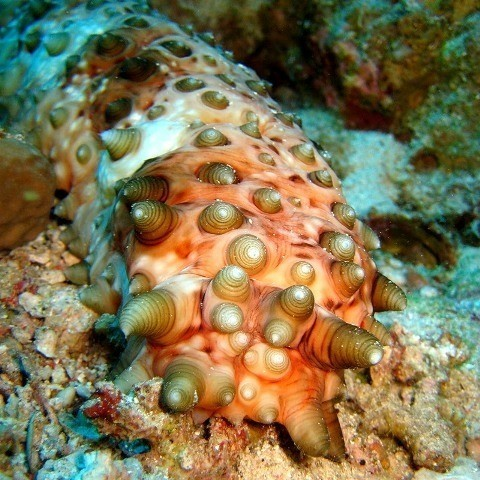 Морской огурец (голотурия) океан, вода, море, морские обитатели, трипофобам привет