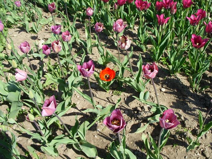 Никитский Ботанический Сад. Выставка тюльпанов.Часть2. Никитский ботанический сад, Фестиваль тюльпанов, Ялта, Длиннопост