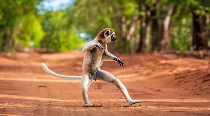 Танцующий сифака на Мадагаскаре