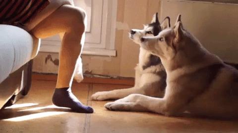 Собаки-повторяки