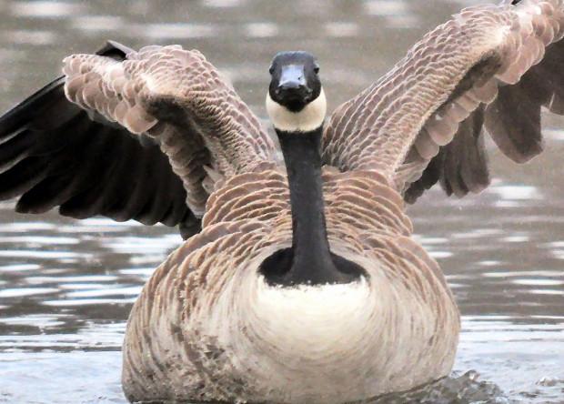 Названы самые опасные для военных птицы Новости, Птицы, Авиация, Ввс США, Самолет, Интересное