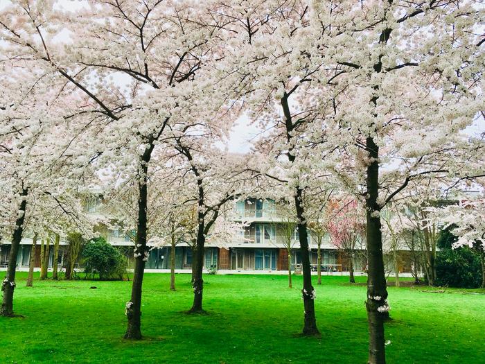 В Амстердаме цветет сакура Нидерланды, Амстердам, Блог, Сакура, Спальный район, Длиннопост, Кролик