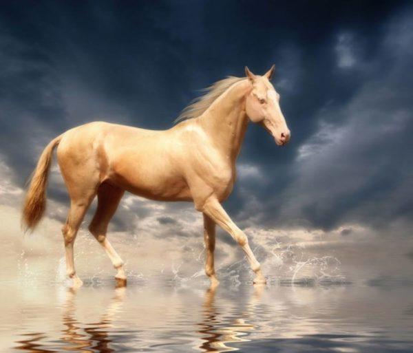 Ахал-Теке: одна из самых красивых лошадей в мире Красота, Лошадь, Видео, Длиннопост