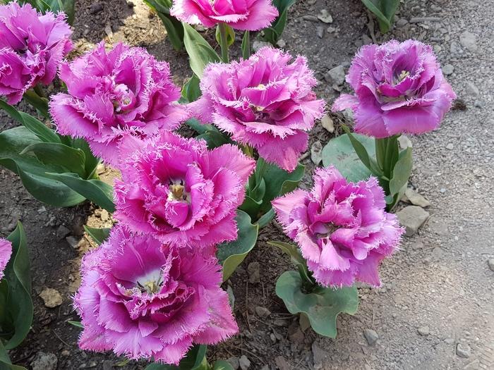 Парад тюльпанов в Никитском саду Крым, Фотография, Парад тюльпанов, Длиннопост