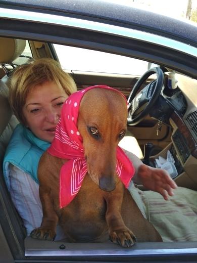 Я и вправду красавица, но только не говорите ни кому, что у меня ушки болят Собака, Такса