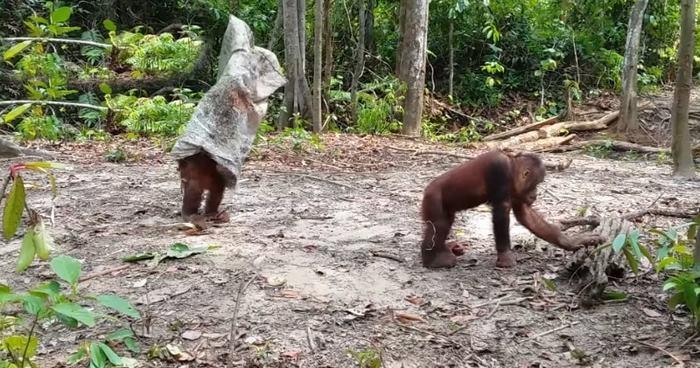Веселый орангутан =) Животные, Орангутан, Борнео, Видео, Привидение