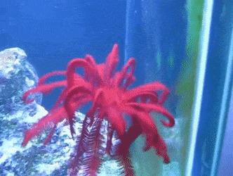 Кринодеи кринодеи, морские лилии, морские обитатели, гифка