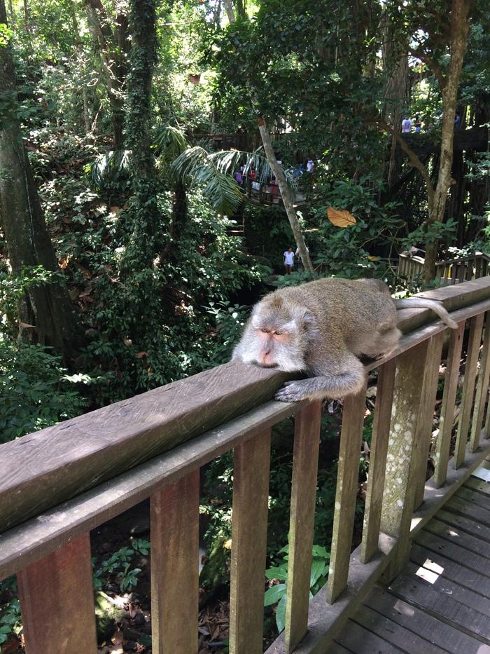 Monorail Monkey Обезьяна, Природа, Фотография, Бали, Индонезия