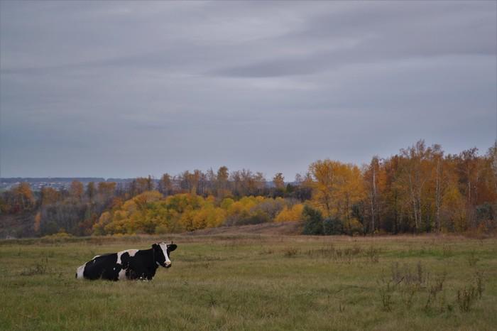 Коровы Корова, Белгородская область, Осень, Муууууу, Длиннопост