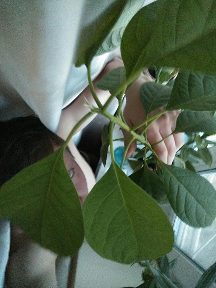 Ботаник no.1 - Авокадо Авокадо, Ботаника, Вопрос, Длиннопост