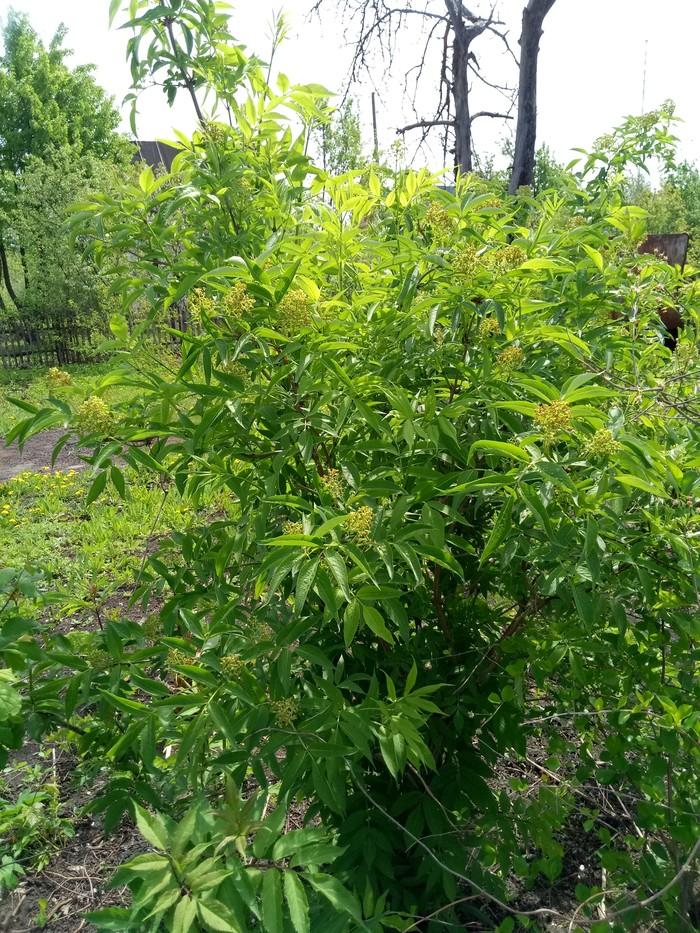 Помоги распознать дерево! Без рейтинга, Дерево, Помогите найти, Садоводство, Длиннопост