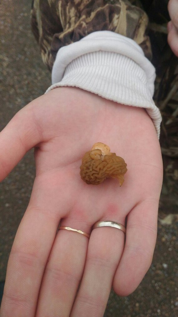 Сморчки - первые весенние грибы. Грибы, Сморчки, Длиннопост