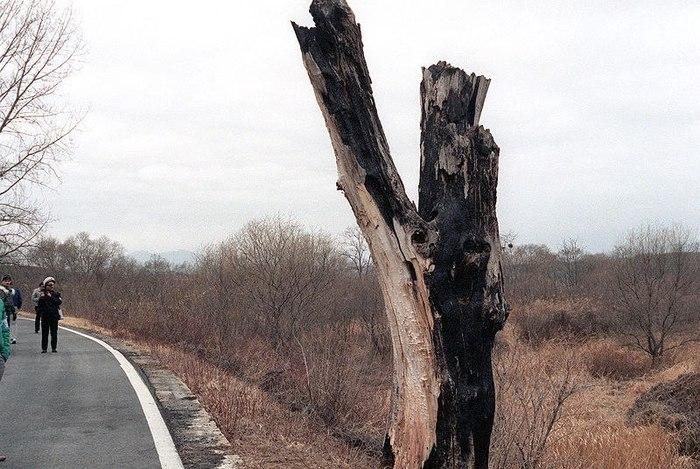 Как срубить дерево в Корейской демилитаризованной зоне дерево, Война, северная корея, южная корея