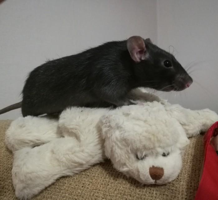 Просто отсюда лучше видно... Декоративные крысы, Домашние животные, Милота, Длиннопост