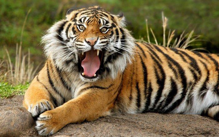 Когда эволюция создавала кошек, Тигр, Эволюция, Собака, Кот, Шутка, Юмор