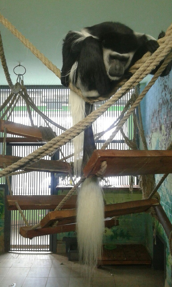 Колобус моей мечты Восточный колобус, Обезьяна, Приматы, Роев ручей, Красноярск, Животные, Длиннопост, Видео