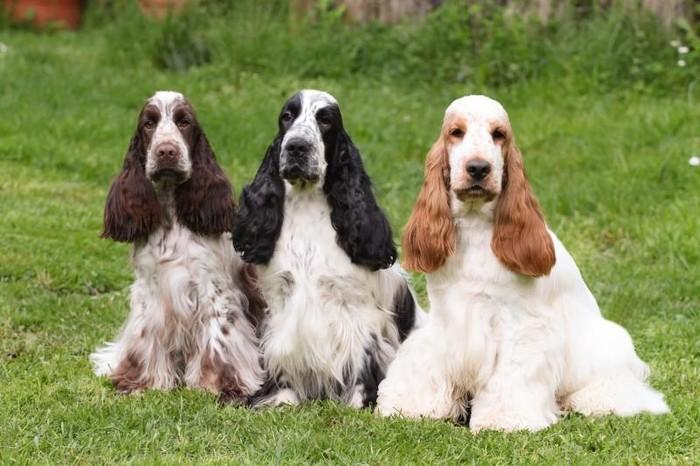 О породах собак. Английский кокер-спаниель. Собака, Породы собак, Кокер-Спаниель, Спаниель, Видео, Длиннопост