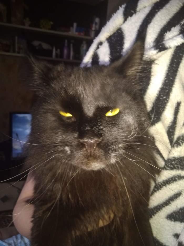 Тони Монтана. Кошачья версия. Кот, Мейн-Кун, Мука, Кокаин, Тони монтана, Лицо со шрамом, Длиннопост