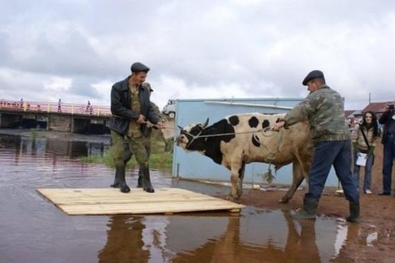 На празднике в Пермском крае принесут в жертву быка. Язычество, Пермский край, Новости, Странности