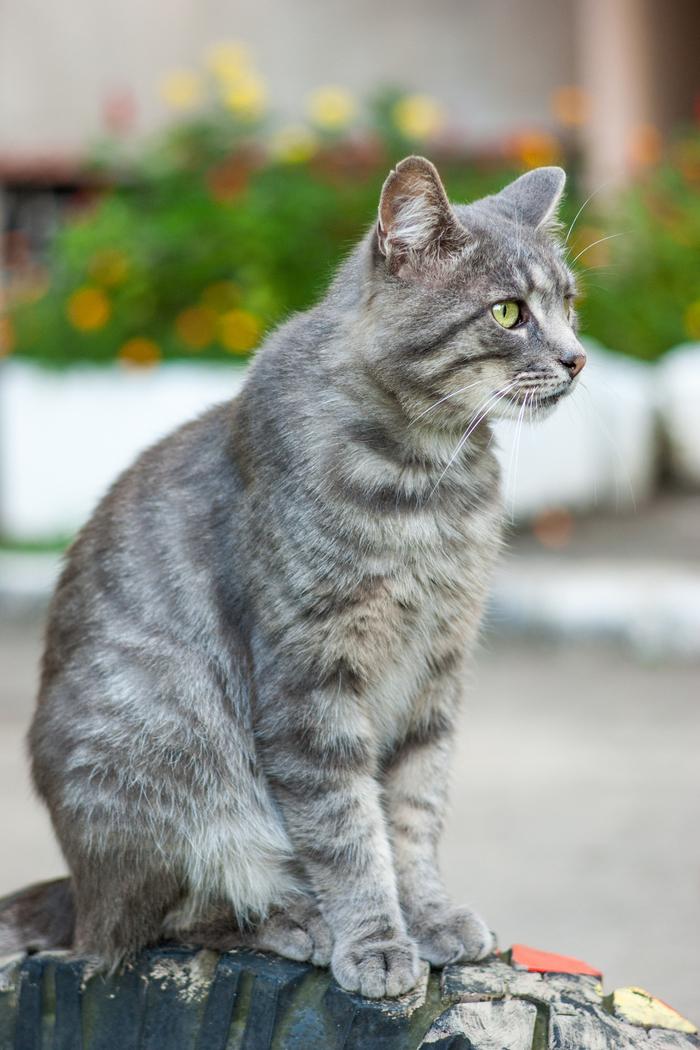 Дворовый красавец Кот, Серый, Дворовый, Портреты животных