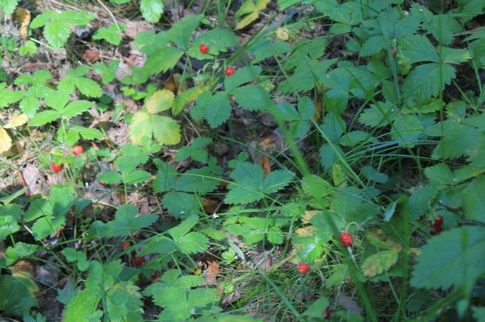 Лесные ягоды. Земляника, Ягоды, Черника, Лес, Природа, Фотография, Canon, Длиннопост